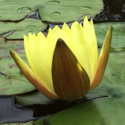 Nymphaea 'Joey Tomocik'