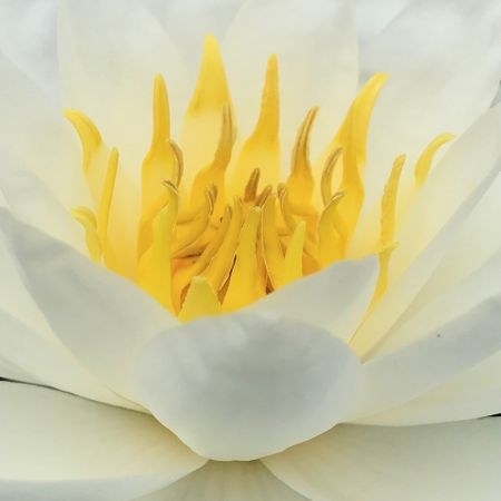 Nymphaea 'White Sultan'