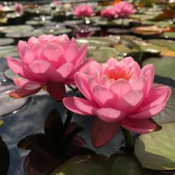 Nymphaea 'Pink Peony'