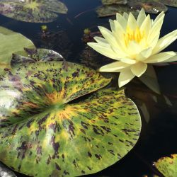Nymphaea 'Yellow Watermelon'