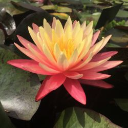 Nymphaea 'Gregg's Orange Beauty'