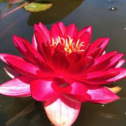 Nymphaea 'Manee Red'