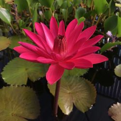 Nymphaea 'Antares'