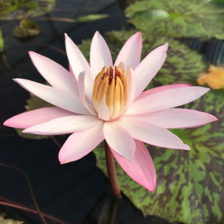 Nymphaea 'Texas Shell Pink'