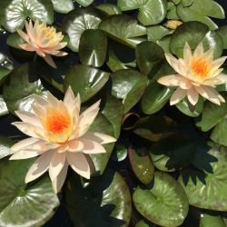 Nymphaea 'Stapeley Sunset'