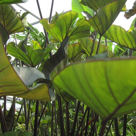 Colocasia esc. 'Tea Cup'