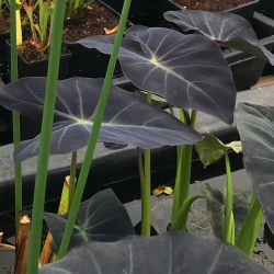 Colocasia esculenta var. antiquorum 'Coal Miner'