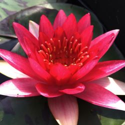 Nymphaea 'Temple Fire'