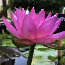 Nymphaea 'Siam Purple II'