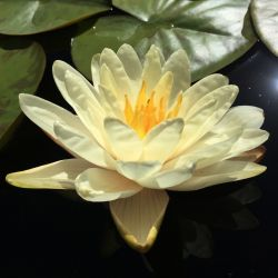 Nymphaea 'Denver'