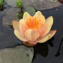 Nymphaea 'Crysantha'