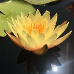 Nymphaea 'Hawaiian Gold'