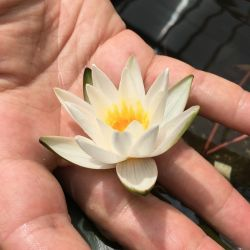 Nymphaea 'Snow Princess'