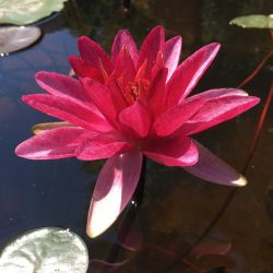 Nymphaea 'Burgundy Princess'