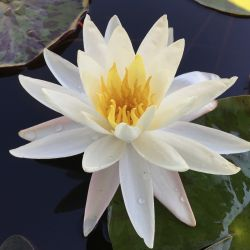 Nymphaea 'Moon Dance'