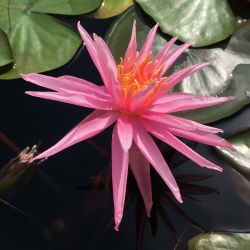 Nymphaea 'Perry's Cactus Pink'