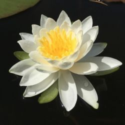 Nymphaea 'M. Evelyn Stetson'