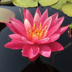 Nymphaea 'Dallas'