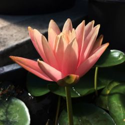 Nymphaea 'Patio Joe'